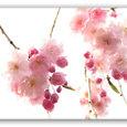 春の花 1